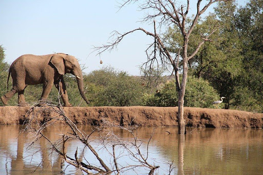 Adult african elephant walking along river in wilderness